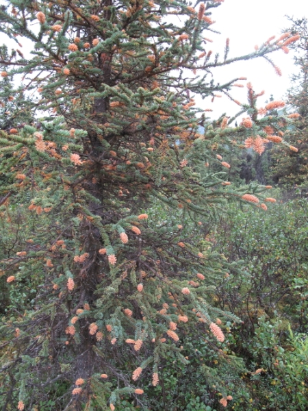 img_3300a-spruces-with-rust-fungi